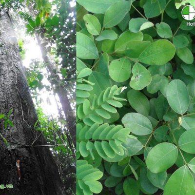 Lá và thân cây gỗ gụ